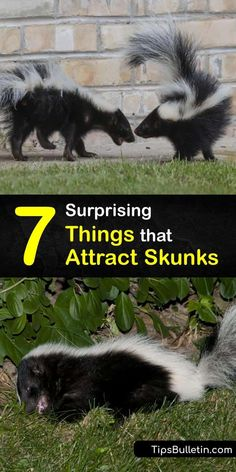 Create all-natural skunk repellent that gets rid of the critters without animal control. Raccoons and skunks are attracted to grubs and larvae in the yard as well as cat food and trash in your garbage can. Predator urine and cayenne pepper are great ways to repel skunks. #what #attracts #skunks Skunk Repellent, Skunk Removal, Getting Rid Of Skunks, Skunk Smell, Under Decks, Raccoons, Animal Control, Decks And Porches