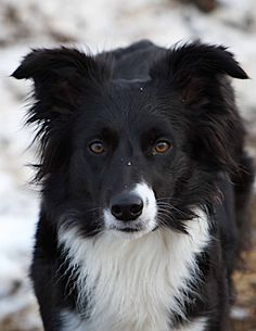 Beautiful Border Collie!