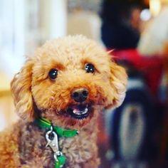 おつかれ Hello! #wooftoday #toypoodle #dog #poodle #doginstagram #ilovemydog #dogstagram #mydogiscutest #dogsofinstagram #cutedog #smalldog #犬 #トイプードル #follow #smalldog
