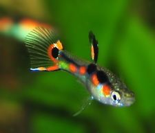 6 Live Fish - 3 Pair of N Class Orchid Endlers Livebearers (Pure Endlers) Fresh