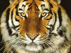"Listed below are a selection of useful sites relating to ""tiger face close up"". Description from ayay.co.uk. I searched for this on bing.com/images"