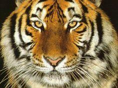 tiger images - Norton Safe Search