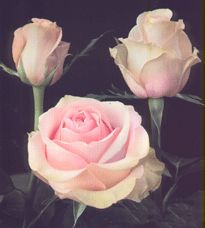 Roses: Bicolor,Cream & Novelty Pink***    Variety:( Vinci)