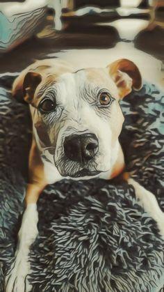 Pitbulls, American, Dogs, Animals, Animales, Pit Bulls, Animaux, Pet Dogs, Pitbull