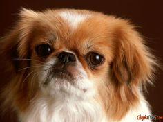 Photo chien pékinois