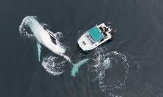 Byron Bay, Australia An aerial shot taken by a drone of the humpback whale beside a boat. The whale was circling the small boat for around 90 minutes giving professional nature photographer Craig Parry chance to get this shot