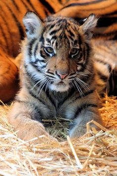 Baby Animals Pictures, Animals Images, Animals And Pets, Cute Animals, Majestic Animals, Animals Beautiful, Cat Species, Exotic Cats, Tiger Face