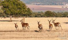 Deers in Cabañeros National Park