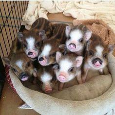 I ❤️ PIGS!!!!!!!!