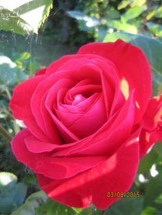 Rose 2015 - my garden