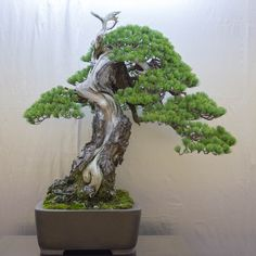 The heart of Japan - Keiji Tanaka display at Taikan-ten - Bonsai Tonight Terraria Tips, Pine Bonsai, Plantas Bonsai, Japanese Tree, Bonsai Styles, Indoor Bonsai, Miniature Trees, Bonsai Garden, Tree Designs