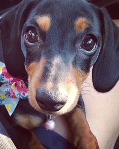Are you following me? Because you should be. =) #doxielove @AnimalBehaviorC