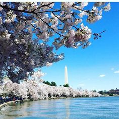 Repost from @channel_luis using @RepostRegramApp - So beautiful!!! Cherry Blossoms Festival with sight of Washington Monument, Washington DC  March 2016 late post  #washingtondc #usa #holiday #holidayphotos #travel #travelgram #traveldiaries #travelphoto