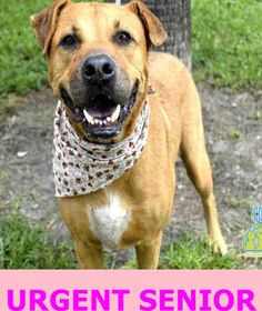 SAMANTHA (A1049700) I am a spayed female brown Boxer. The shelter staff think I am about 7 years old and I weigh 70 pounds. I was found as a stray and I may be available for adoption on 08/19/2015. —: Miami Dade County Animal Services. https://www.facebook.com/urgentdogsofmiami/photos/pb.191859757515102.-2207520000.1440531804./1031241406910262/?type=3&theater