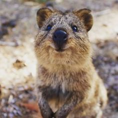 Smiling Animals, Penguin Animals, Happy Animals, Animals And Pets, Funny Animals, Beautiful Creatures, Animals Beautiful, Quokka Baby, Country Critters
