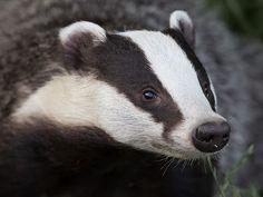 Badger Tattoo, Fairy Land, Ferret, Beast, Profile, Skunks, Hedgehogs, Google Search, Animals