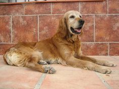 Kim's mother was a Golden Retriever and her father was an Irish Setter. She is 12 yrs old and sadly is suffering from a terrible disease called Leishmanosis which is transmitted by the mosquito here in Spain and in other european countries.Although t what is that