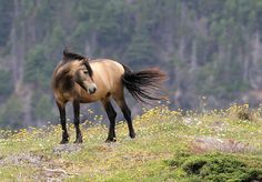 It is believed that there are fewer than 400 Newfoundland Ponies in North America with only 250 of these ponies able to be bred. Description from pinterest.com. I searched for this on bing.com/images