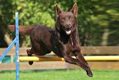 Australian Kelpie Dog Breed Information, Beliebte Bilder - Dogs - Hund Australian Shepherds, Australian Cattle Dog, West Highland Terrier, Scottish Terrier, Rottweiler, Baby Dogs, Dogs And Puppies, Undertale Dog, Schnoodle Dog