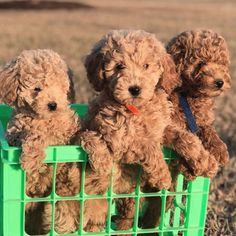 Give me some mini golden doodle love