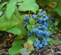 Creeping Mahonia (Mahonia repens). Creeping barberry, Creeping Oregon grape. A spreading evergreen shrub to 60 cm (2 ft) high, tolerating deep shade. Bloomy black fruits, 10 mm across, are edible. An excellent ground cover and understorey crop; also used for hedges. Hardy to -20°C.
