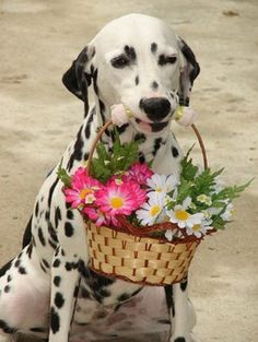 Dalmatian dog art portraits, photographs, information and just plain fun. Love My Dog, Puppy Love, Can Dogs Eat, All Dogs, Dogs And Puppies, Corgi Puppies, Dalmatian Dogs, Tier Fotos, Mans Best Friend