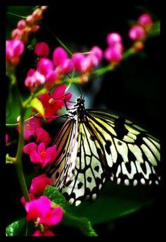 Butterfly by ~ orangebolster