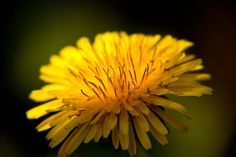 Photo competition:  Up Close  Entry from: Rainier Limcangco  Image title: Taraxacum officinale  Digital camera: SLR digital camera Canon 60D, F5.6, ISO 400, 200mm, Macro close up lens from eBay