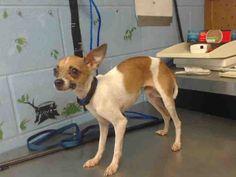 Chihuahua dog for Adoption in San Bernardino, CA. ADN-605797 on PuppyFinder.com Gender: Male. Age: Young