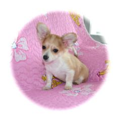 Kijiji - Buy, Sell & Save with Canada's Local Classifieds Chihuahua Puppies, Dogs And Puppies, Red Deer, Humane Society, Blue Stripes, Corgi, Adoption, Pets, Animals
