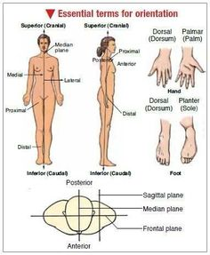 Terms For Body Orientation