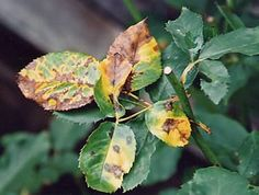 Blackspot, Diplocarpon rosae, is a nasty fungus that manifests itself on rose bushes as black spots on leaves progressing to black spots fringed with yellow rings on both sides of the leaves. Rose Leaves, Plant Leaves, Yellow Leaves On Roses, White Roses, Black Spot On Roses, Rose Care, Growing Roses, Growing Plants, Planting Roses