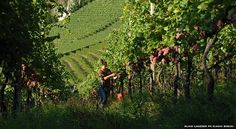 What is Biodynamic Wine and Viticulture?