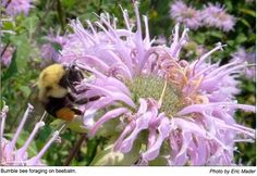 Pollinator Conservation Resources – Great Lakes Region / Upper Midwest Plants for Native Bees  http://www.xerces.org/pollinators-great-lakes-region/