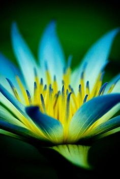Blue Lotus...photo by Elana Bailey Would love this coloring on a tat!