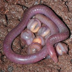 Creepy: A newly discovered family of legless amphibians consisting of a worm-like mother and her eggs