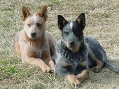 australian cattle dog | Difference between Australian Cattle Dog and Blue Heeler: Red Heelers, Pet, Blue Heelers, Australian Cattle Dog, Red And Blue, Cattle Dogs, Cattledogs, Animal