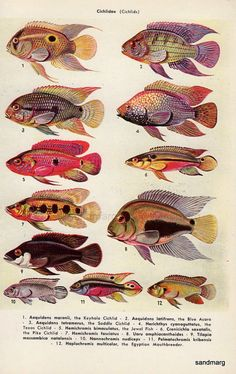 Tropical Fish Chart Tooth Carps and Cichlids