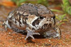 Grumpy toad.