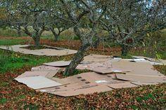 Cardboard mulch in orchard - does it work?