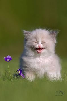 cute + fluffy kitty cat #by Marion Vollborn -- 500px.com #cat kitten cute AWW OMG