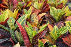 Eden Tropicals offers a wide range of fine quality perennial Croton Petra online. We have some of the best indoor plants.Order your foliage plant today.