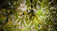 Olivy jsou 3500 let starý lék na všechny choroby, který byl popsán i v Bibli