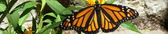 Chasing Monarchs on the Llano River with Dr. Chip Taylor, Champion of Monarch Butterflies   texasbutterflyranch
