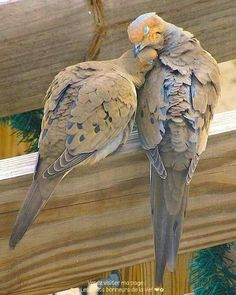 You may hear the lovely call of the Mourning Dove. They mate for life and are very affectionate. They are considered to be Love Birds. Pretty Birds, Love Birds, Beautiful Birds, Animals Beautiful, Animals And Pets, Cute Animals, Photo Animaliere, Mourning Dove, Backyard Birds