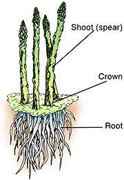 Article on growing Asparagus- Missouri specific, but much info transfers Asparagus Roots, Asparagus Plant, Fruit Garden, Vegetable Garden, Garden Plants, Winter Plants, Winter Garden, Organic Gardening, Vitamins