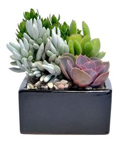 Loving this Live Onyx Square Succulent Garden on #zulily! #zulilyfinds