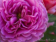 Kunstdruck-Leinwandbild mit pinker Rosenblüte
