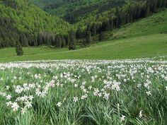 Poiana narciselor - Munții Rodnei, România