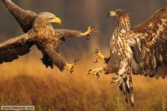 Vahşi doğanın en heyecan verici anları, hayvanların yaşam mücadelesi verdiği kavga anlarıdır. İşte vahşi doğa fotoğrafçılarının mükemmel zamanlamayla çektiği en iyi hayvan kavgası fotoğrafları...